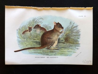 Lloyd & Lydekker 1896 Antique Print. Brush Tailed Rat-Kangaroo, Australia